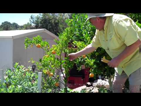 Train-A-Tree -Citrus Tango Mandarin Stimulate More Growth & Redirect with Spreaders #1