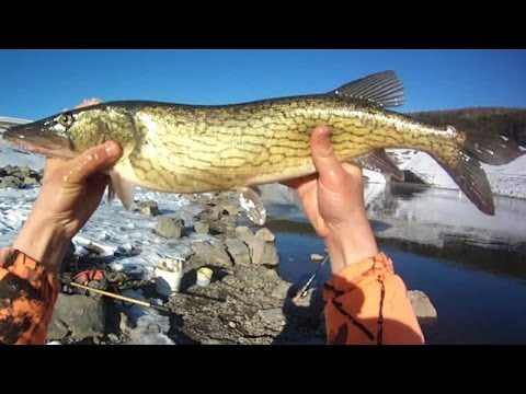 Bait Fishing #38 - Spillway Fishing for Winter Carp and Chain Pickerel with Minnows