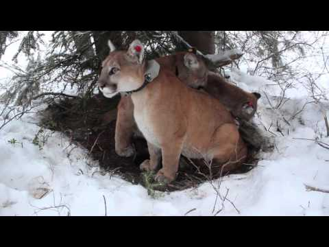 Secret Life of Mountain Lions