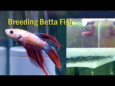 10 Easy Way to Breed Betta fish