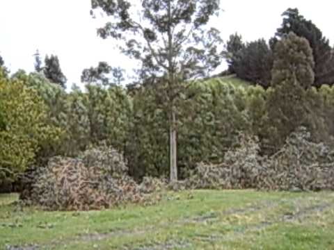 Felling troublesome third gum tree