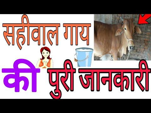 साहिवाल गाय की खासियत | साहिवाल गाय की पहचान | साहीवाल गाय का दुध बढाने का तरीका sale sahiwal cow