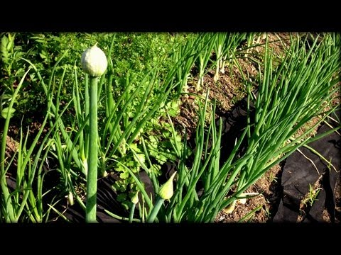 What to do about Flowering Onions & Asparagus Harvesting