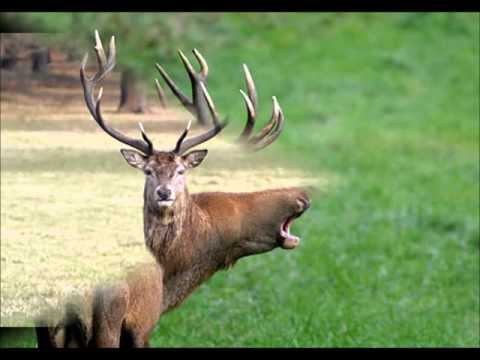 Deer Sounds  - Good Animal Voices