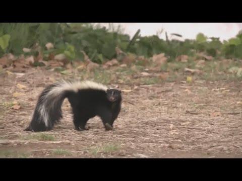 Skunk mating season stinks up Albuquerque
