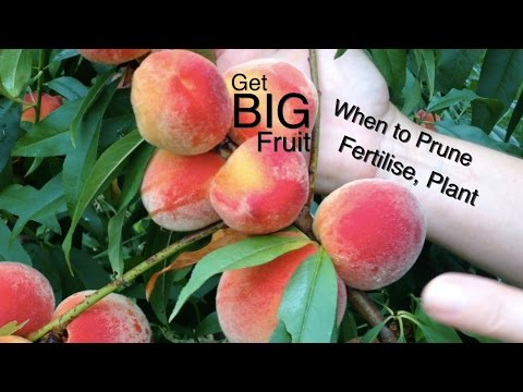 Stone Fruit When to Prune, Fertilise and how to Plant