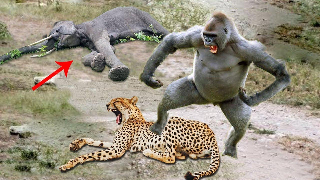 Big Mistake When Leopard Hunt Gorilla– Elephant Herd Rescue Success Baby Monkey From Leopard