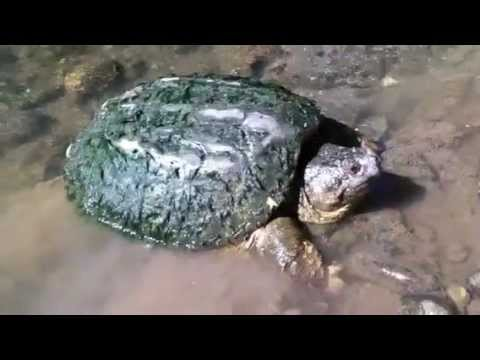Huge Snapping Turtle Caught by Hand!
