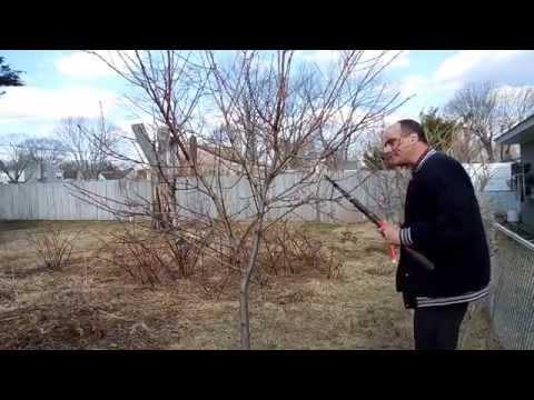 How to prune a dwarf peach tree. Part One.