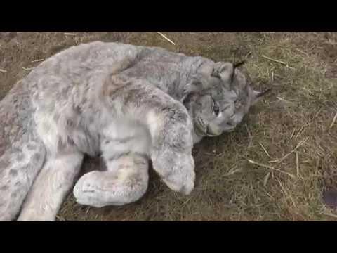 Max Canada Lynx Lazy Saturday