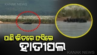 Elephant Herd Stranded In Mahanadi River Bank In Banki