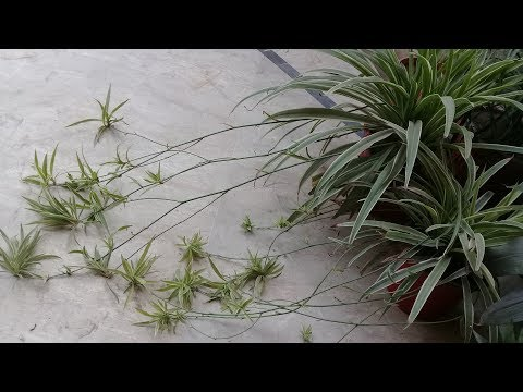 Spider plant | How to grow, care and propagate spider Plant | Spider plant seeds | Indoor plant
