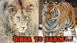 singa vs harimau Videos - 9videos tv