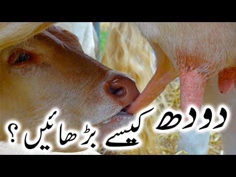 How to Increase Dairy Cows Milk? Cows Buffaloes Ka Doodh Barhane Ke Liye Masala by Ijaz Riaz Mastoi