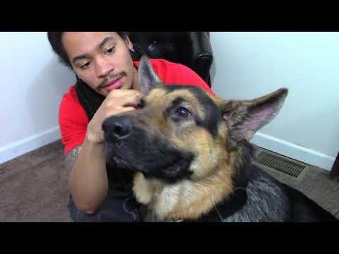 Cleaning My German Shepherd Dog's Ears | How to