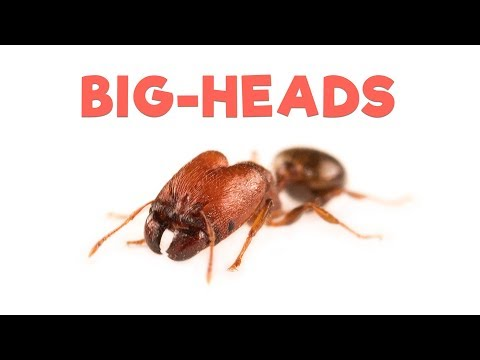Ant Room Tour | Big-headed Ants