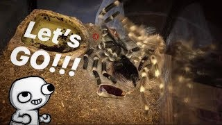 Caught my TARANTULA flipping back after molting ~ TARANTULA FLUIDS !!!