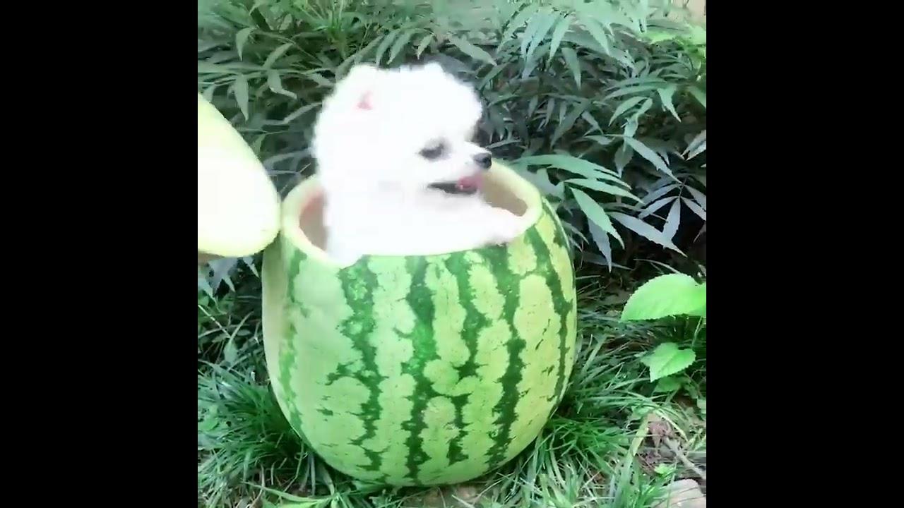 Mini Pomeranian 🔴 Funny and Cute Pomeranian Videos | Funny Puppy Videos 2020