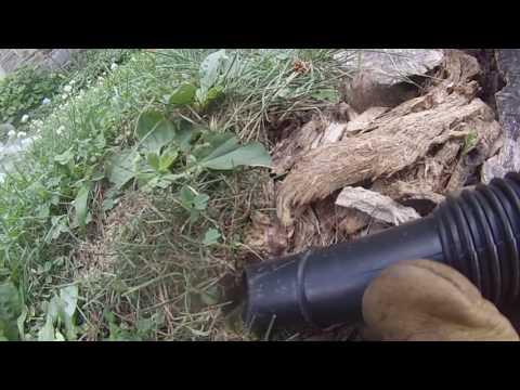 Yellow Jackets Nest In Tree Stump.