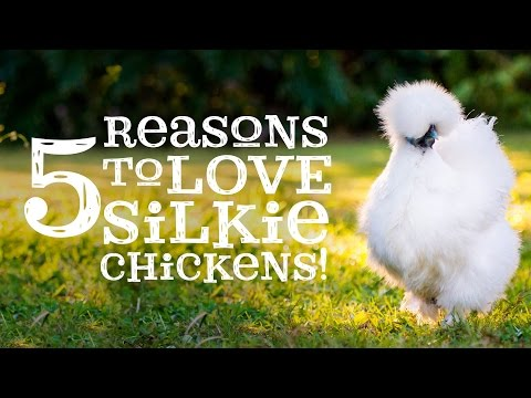 5 Reasons to Love Silkie Chickens!