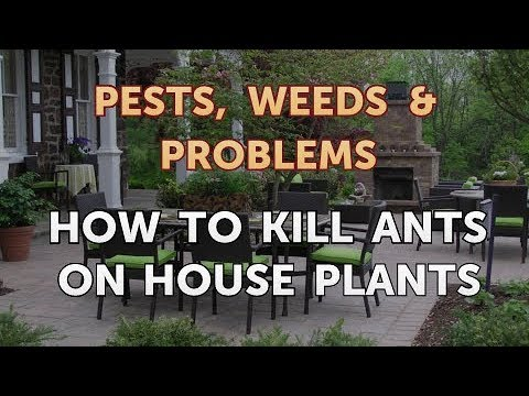 How to Kill Ants on House Plants