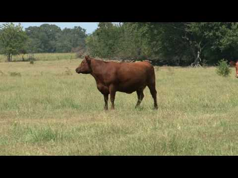 Ranchers' Guide to Profit — Episode 1 — Cow Herd Building Traits