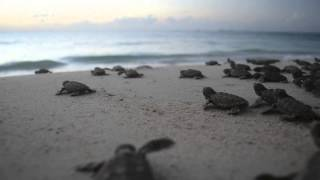 Hawksbill sea turtle hatchlings make their way to the sea