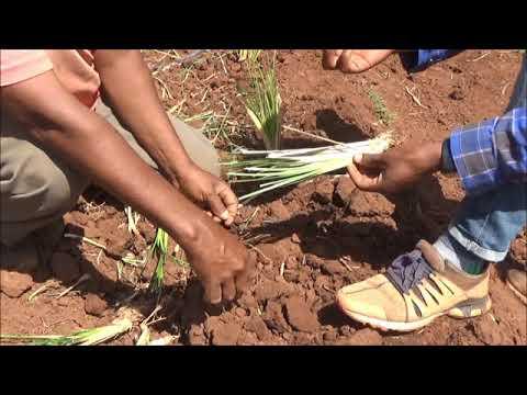 Seka Chokorsa Vetiver Grass Plantation
