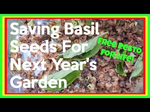 Saving Basil Seeds - How To Harvest Basil Seeds For Next Season's Planting