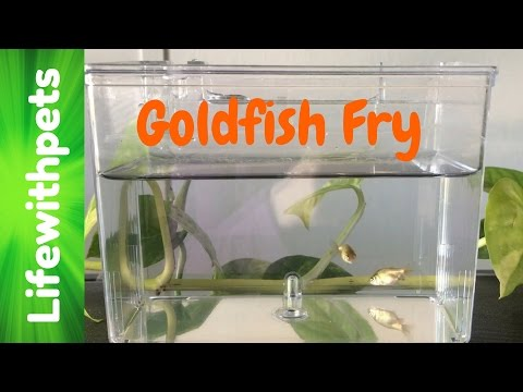 Goldfish Fry From Birth to 4 weeks.