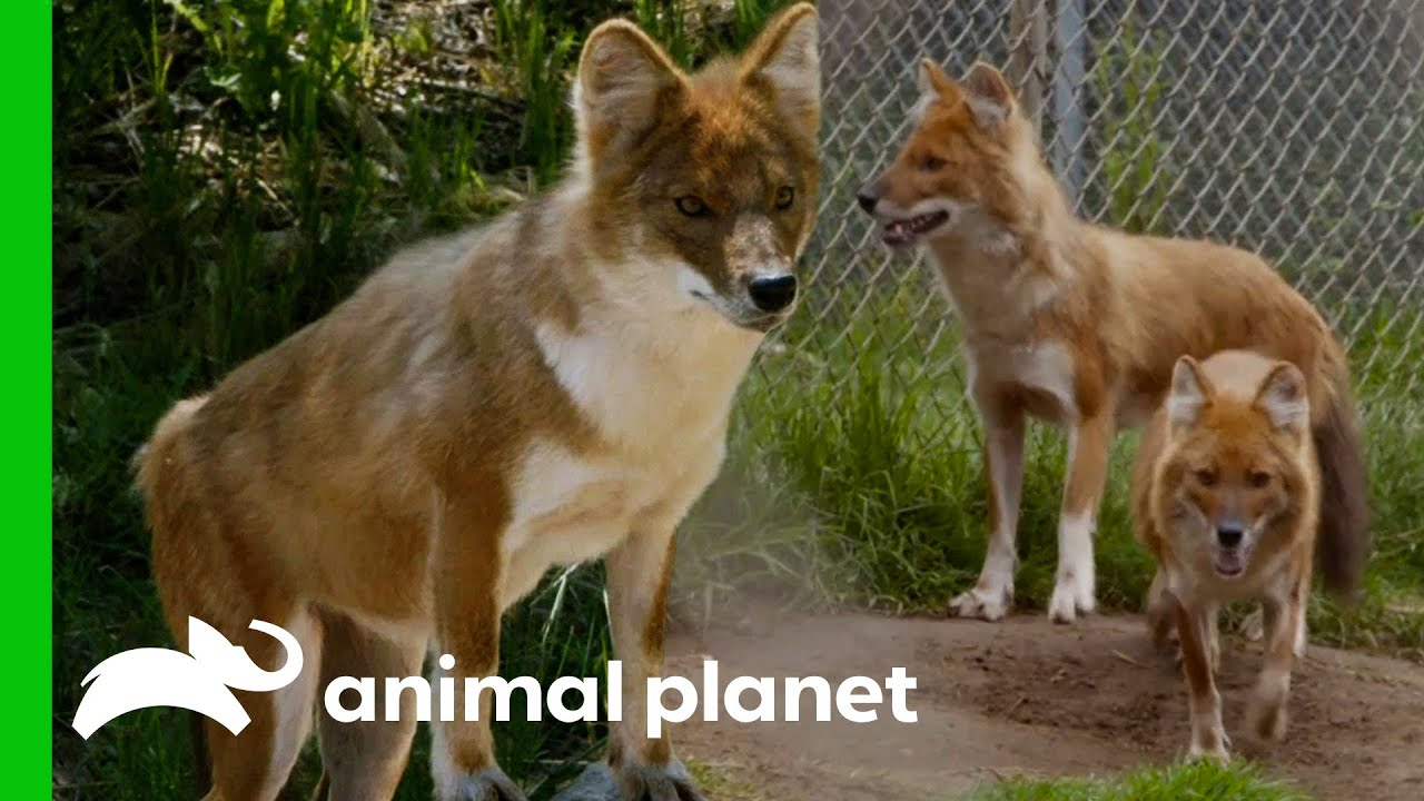 Three Beautiful Dholes Arrive At The Bronx Zoo   The Zoo