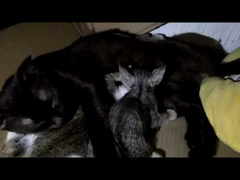 None pregnant female cat adopted 2 kittens
