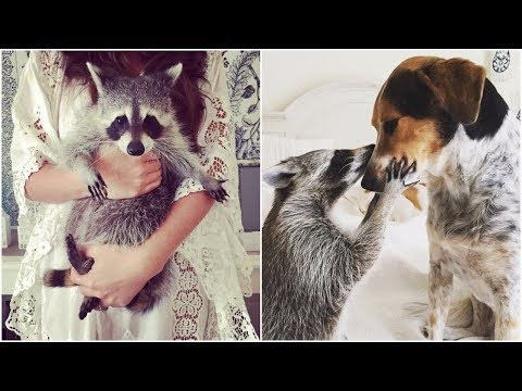 Orphaned Raccoon Rescued By Family With Dogs acts like a dog