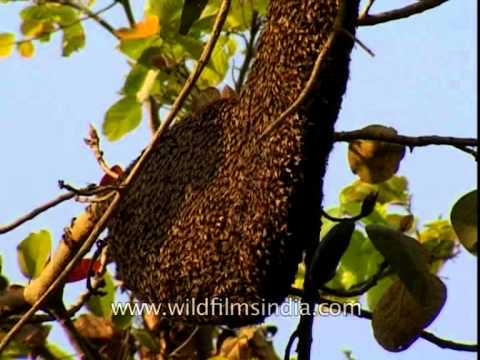 Natural beehive on a tree branch, Corbett