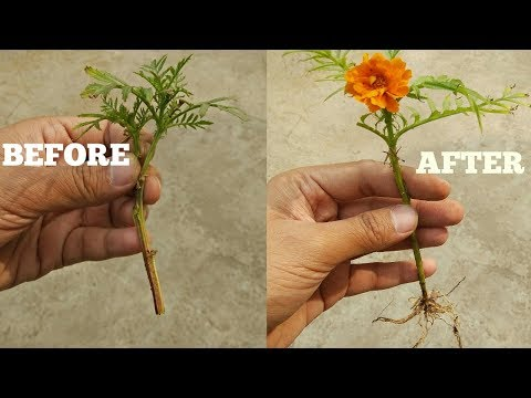 GROW MARIGOLD FROM CUTTINGS IN JUST 2 WEEKS