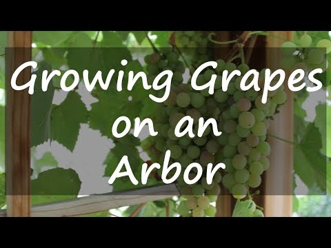 Growing Grapes on an Arbor