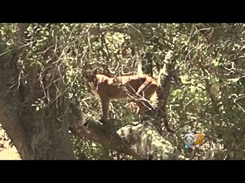 OC Cyclist Has Close Encounter With Mountain Lion