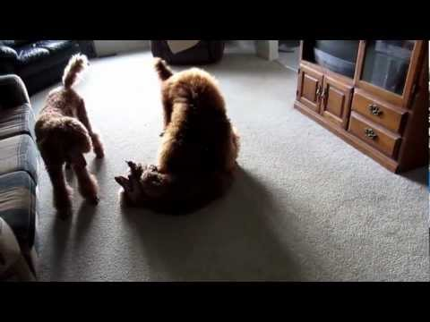 Crazy red standard poodles having fun playing together