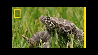 A Mysterious Fungus Is Killing Rattlesnakes | National Geographic