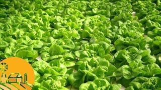 Westland Organics: Hydroponics   Sun Basket