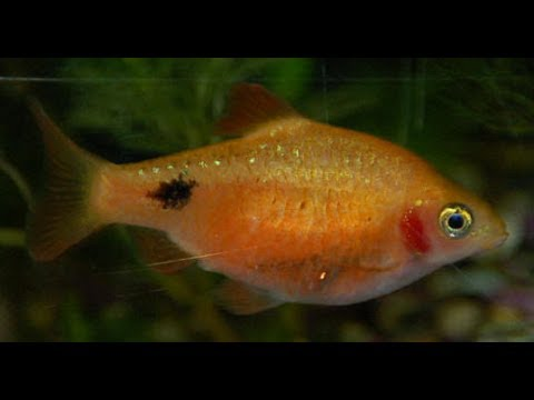 Rosy Red Minnows breeding and laying eggs