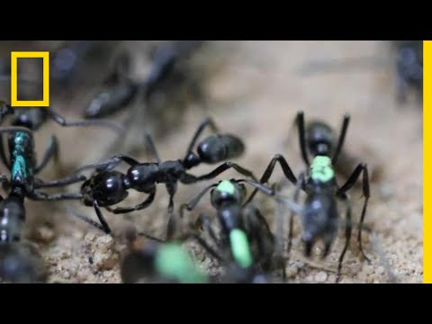 Self-Sacrificing Ants Refuse Treatment of Their Wounds | National Geographic