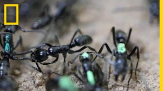 Self-Sacrificing Ants Refuse Treatment of Their Wounds   National Geographic