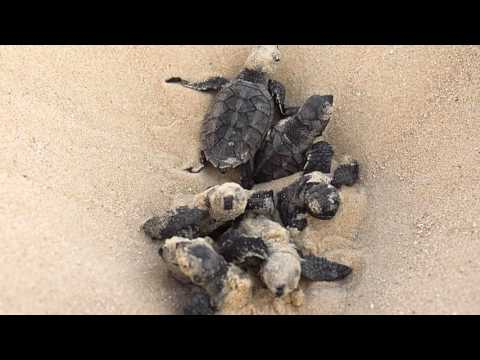 Save the  Hawksbill sea turtle