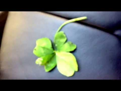 Easiest way to find a 4 leaf clover