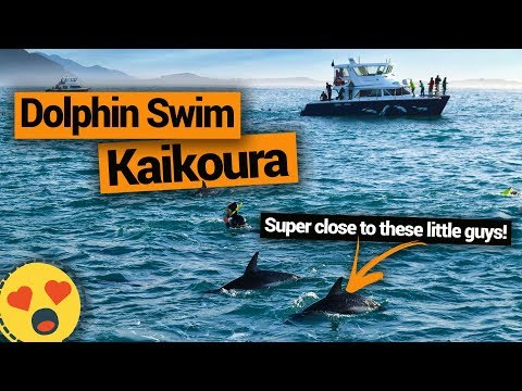 Swimming with Dolphins in Kaikoura – New Zealand's Biggest Gap Year – BackpackerGuide.NZ