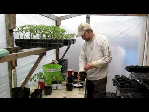 Planting heirloom tomato seeds