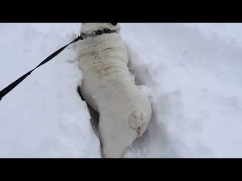 Huge snowfall! It is to deep for the Bull dog to water. Poor little guy.