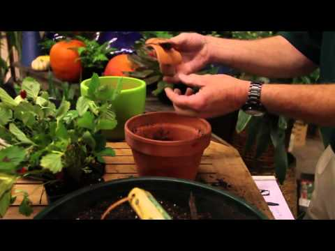 How to Pot a Strawberry Plant