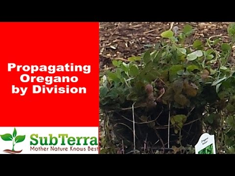 How to Propagate Oregano by Division